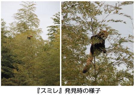 脱走したレッサーパンダの「スミレ」 無事に確保