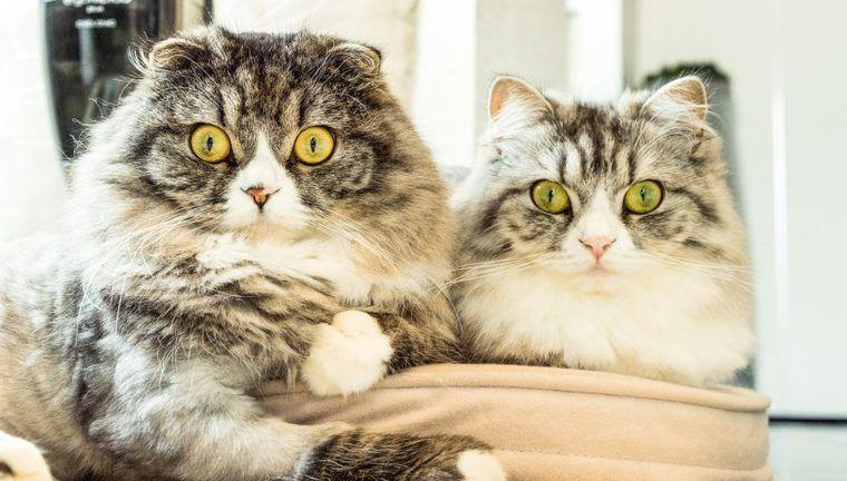 尿管結石にかかりやすい猫って?アメリカンショートヘアやヒマラヤンは注意