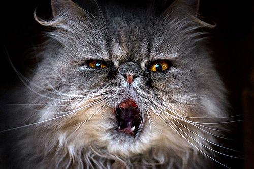 猫の歯周病って? 歯垢歯石などの症状や原因、治療・予防法を歯の専門医が解説