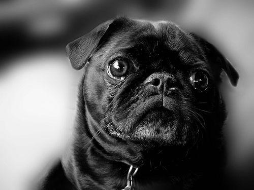 愛犬のパグが悪性がんと診断されたが、治療をどう進めるべき?【がん認定医が回答】