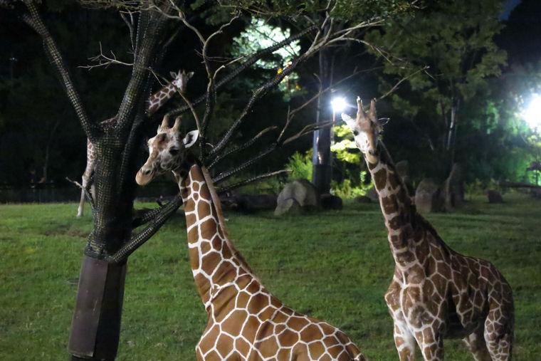 ズーラシア「アフリカのサバンナ」草原エリアが初公開 夜の動物園をキリンが爆走!?