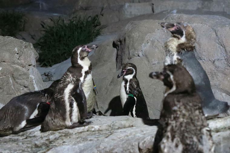 ペンギンは夜どう過ごしているか知っていますか? 「ナイトズーラシア2016」フォトリポート