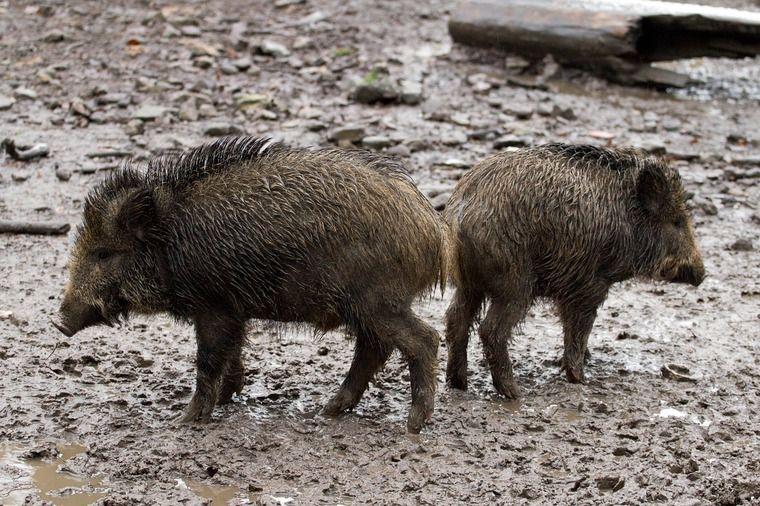 イノシシ肉を刺身で生食するのは危険 HEV感染・急性肝炎による死亡例も