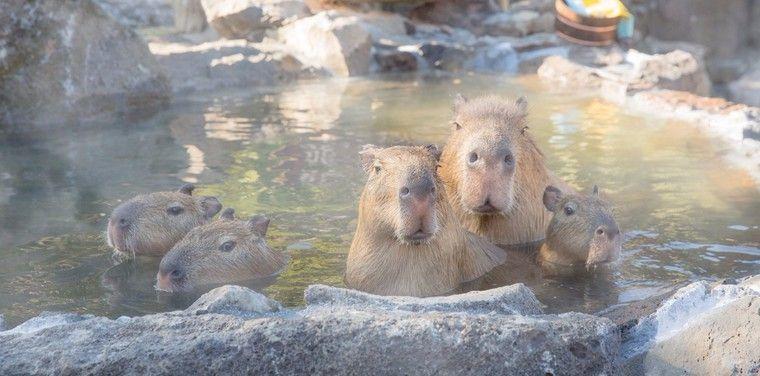 伊豆シャボテン動物公園で「カピバラの露天風呂」がスタート!