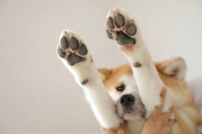 みんな愛犬の肉球が大好き! でも3割に乾燥対策の必要アリ