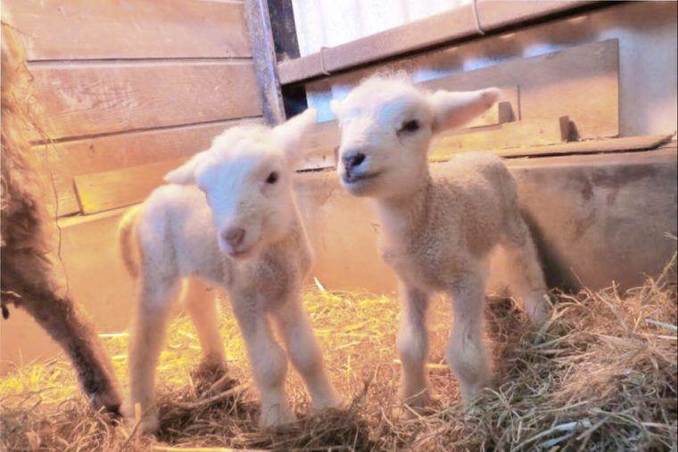 双子のヒツジが15年ぶりに誕生 埼玉県こども動物自然公園で展示
