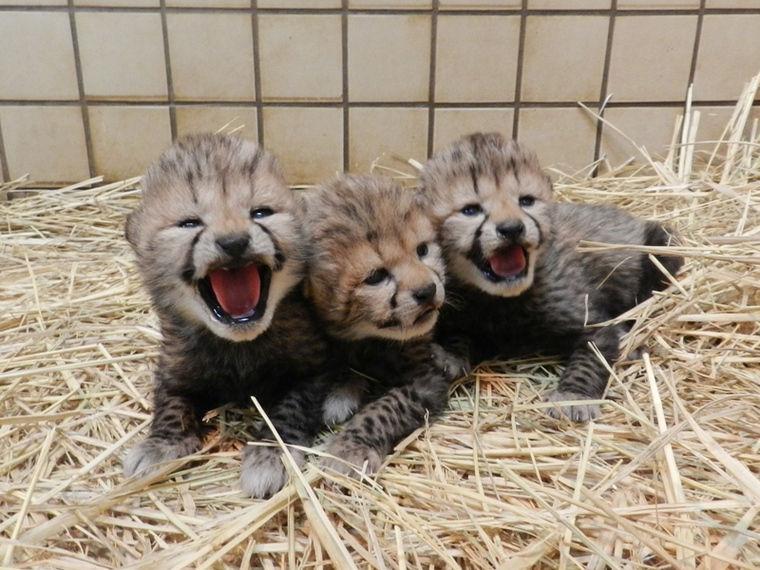 多摩動物公園でチーターの赤ちゃん3頭誕生 危急種の繁殖プログラムで成果