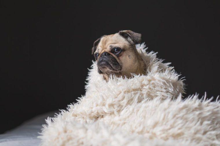 犬の短頭種気道症候群 | 症状や原因、治療・予防法など認定医が解説