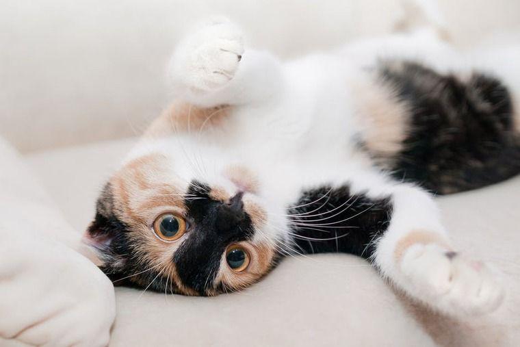 猫の犬糸状虫症 | 症状や原因、治療・予防法など【循環器認定医が解説】