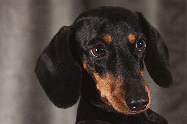 犬の鼻炎 | 症状や原因、治療・予防法など認定医が解説
