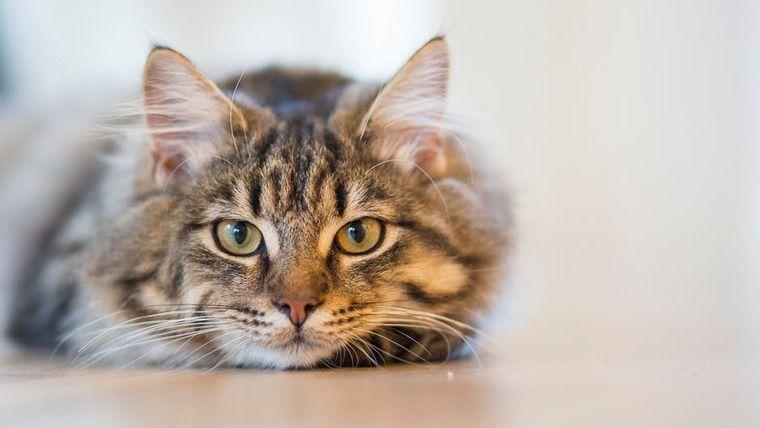 猫の水腎症 | 症状や原因、治療・予防法など【専門獣医が解説】
