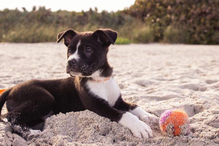 犬の動脈管開存症   症状や原因、治療・予防法など認定医が解説