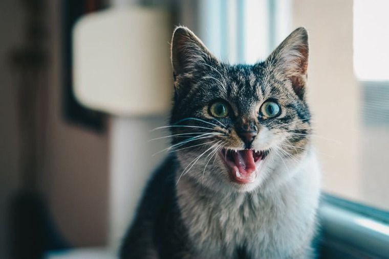 猫の膀胱炎 | 特発性と細菌性の違い、症状や原因、治療・予防法など【専門医が解説】