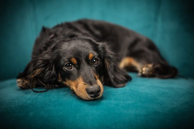 犬の乳腺腫瘍とは | 症状や治療法、手術費用や予防など【認定医が解説】