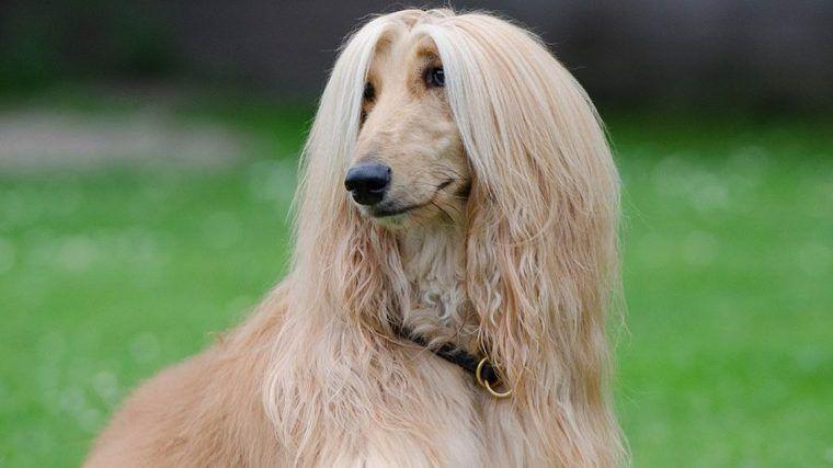 アフガンハウンドの飼い方|性格や毛色、美しい毛並みは手入れが大変?