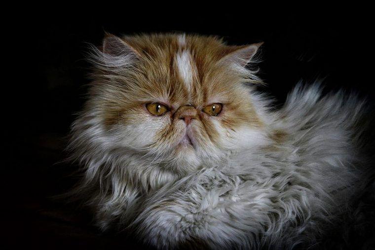 ペルシャ猫の飼い方|性格や黒や白、チンチラなどの毛色、寿命、値段などを紹介