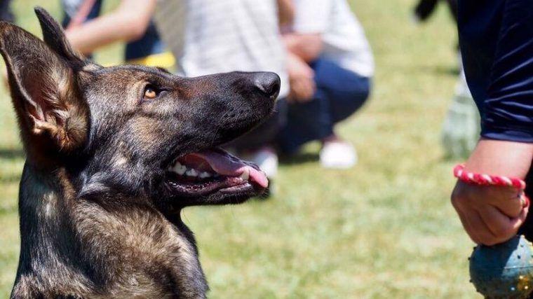 ジャーマンシェパードの飼い方|警察犬だけじゃない!? 性格や特徴について