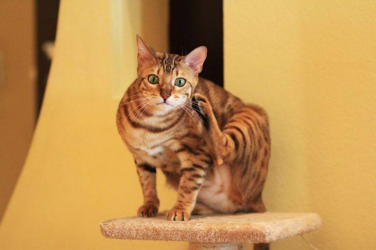 ベンガル猫の飼い方|ロゼットと呼ばれる模様やシルバーなど毛色の特徴、寿命などを解説