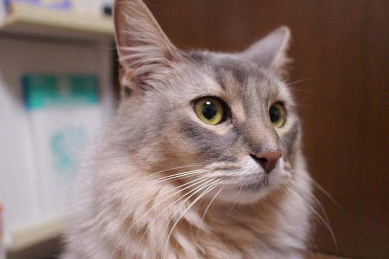 ソマリの飼い方|バレリーナみたいな猫? 性格や特徴について紹介