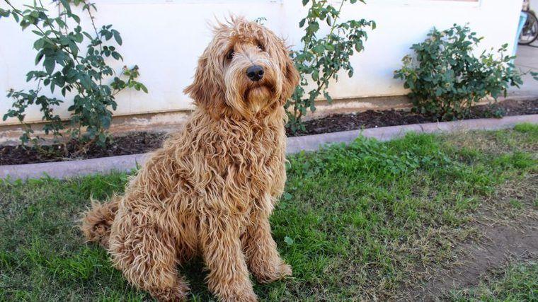 ラブラドゥードルの飼い方|アレルギーフレンドリーな犬って本当!?