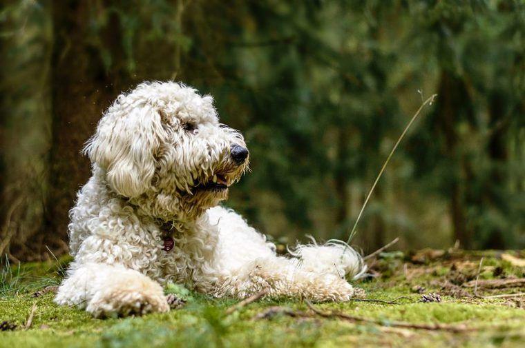 ゴールデンドゥードルの飼い方|性格や大きさは? 血統書がない犬種?