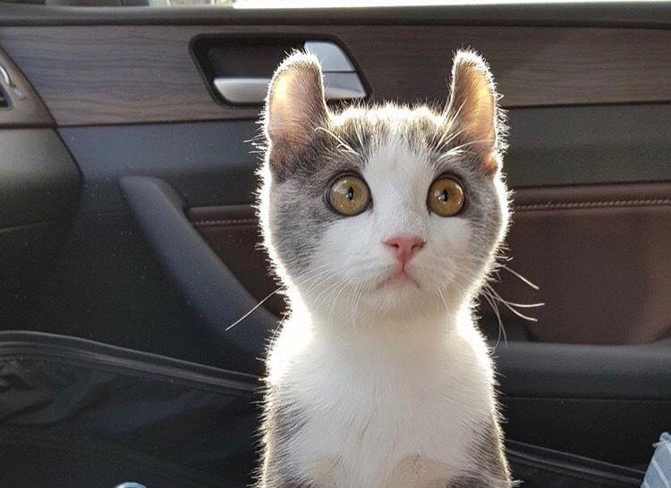 アメリカンカールの飼い方|猫界のピーターパン!? 性格や特徴について紹介