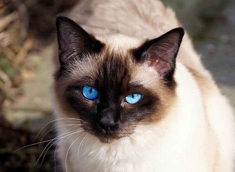 バリニーズの飼い方|シャム猫との違いは? 性格や特徴について紹介