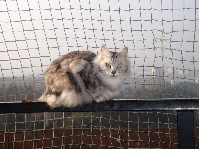 アメリカンボブテイルの飼い方|猫界のゴールデンレトリーバー!? 性格や特徴について紹介