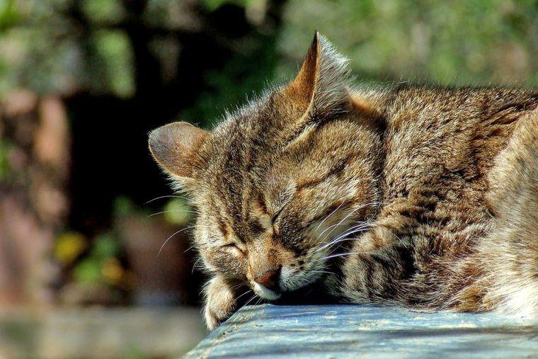 ピクシーボブの飼い方|人の言葉が分かる猫!? 性格や特徴について紹介