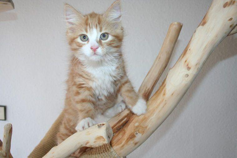 メインクーンの飼い方|世界一大きな猫? 性格や寿命、大きさ
