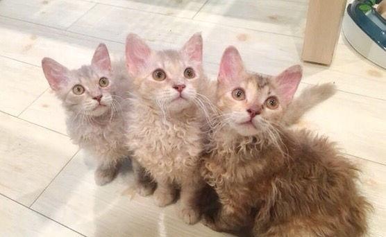 ラパーマの飼い方 ウェーブした被毛を持つ宝石のような猫の性格や特徴を紹介