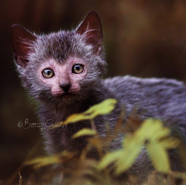 リコイ(ライコイ)の飼い方|狼のような猫!? 歴史や性格、特徴などを紹介