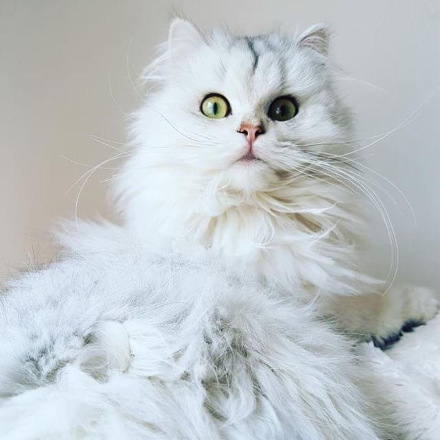 ブリティッシュロングヘアの飼い方|ペルシャ猫と見た目が同じ!? 歴史や特徴について紹介