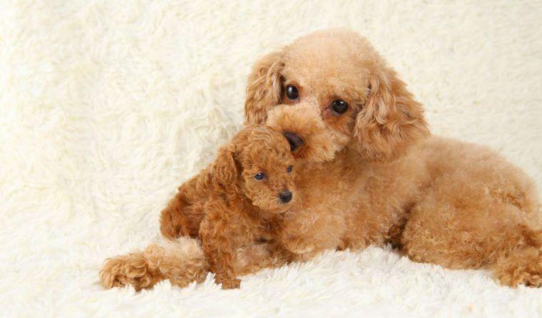 犬のブリーダーとは | メリット・デメリットや優良・悪質の違い、迎えるまでの流れを解説