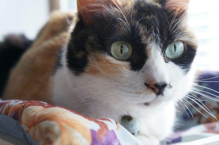 猫で短毛種ってどんな種類? アメショやシャム猫など人気の種類26選