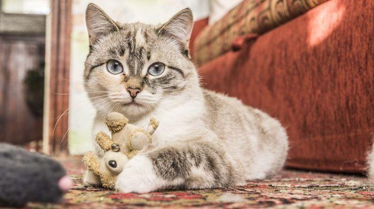 飼いやすい猫の種類って? マンション向け・抜け毛が少ないなどタイプ別に紹介