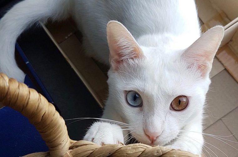 カオマニーの飼い方|タイ出身の白い宝石!? 歴史や特徴について紹介