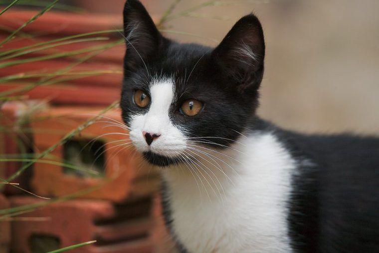 ハチワレ猫の性格や特徴を解説 縁起の良い「福猫」と呼ばれる理由とは