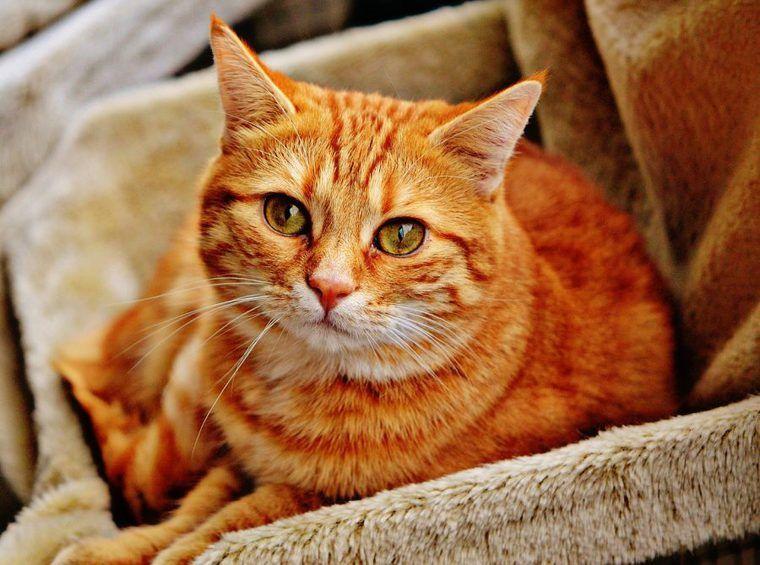 茶トラの猫は甘えん坊? 特徴・性格から、オスが多い理由まで解説