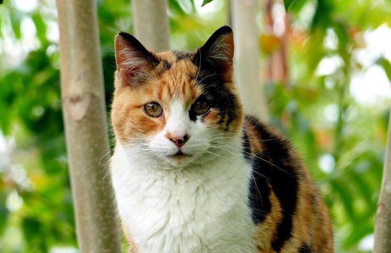 三毛猫の性格や特徴を解説 3種類の毛色や「福猫」と呼ばれる理由とは