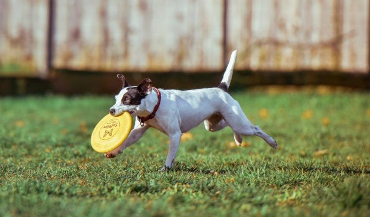 犬と一緒にフリスビーを楽しもう! 練習の仕方とおすすめ商品を紹介