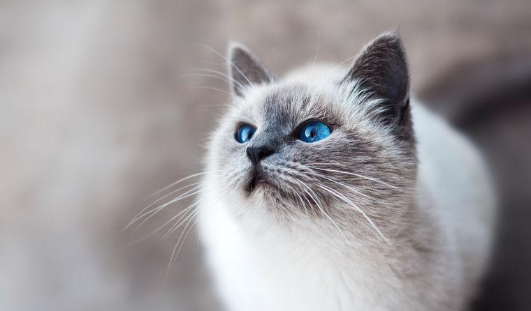 猫の肺炎 | 症状や原因、治療・予防法など【循環器認定医が解説】