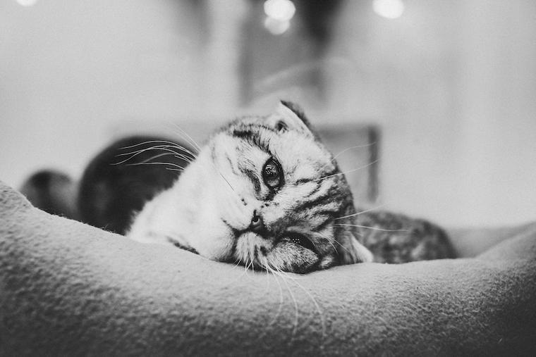 猫の前庭疾患って? 首が曲がったまま顔が傾いている時考えられる原因と病気