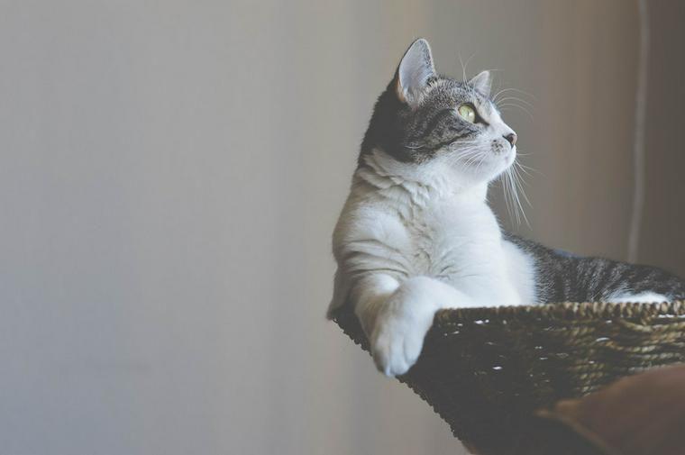 猫の七五三はどうやってお祝いする? 晴れ着で記念撮影やお守りで特別な日に