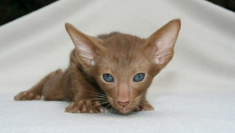 オリエンタルショートヘアの飼い方|猫アレルギーの人にも優しい? 性格や特徴を紹介