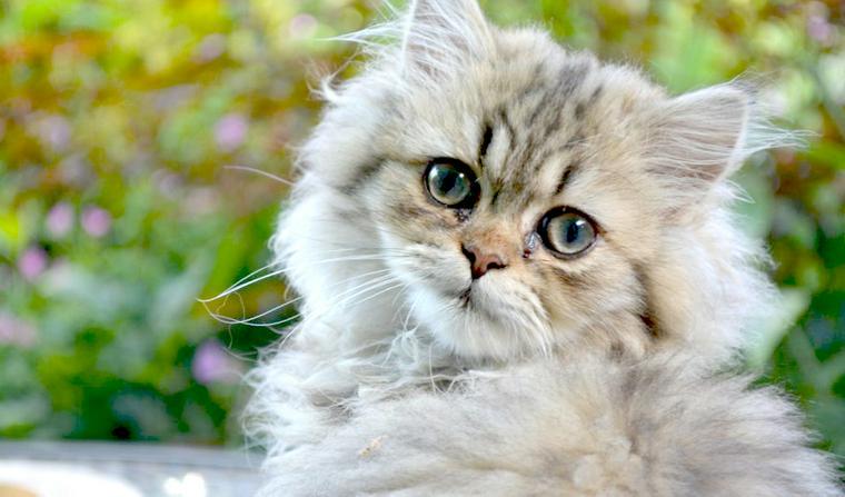 日本には洋猫だけで和猫はいない!? おとなしい性格や長毛など洋猫の種類を紹介