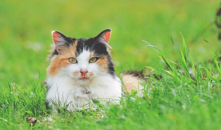 猫の条虫は人間にうつる? 感染の原因や治療・予防法を感染症担当獣医が解説