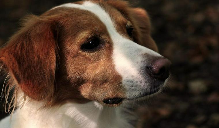 コーイケルホンディエの飼い方|絶滅に瀕していた超稀少犬種? 大きさや性格について