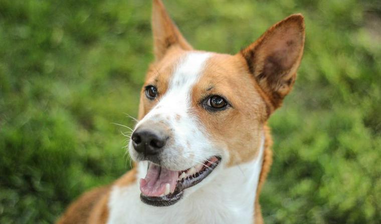 バセンジーの飼い方 吠えない犬種って本当!? 性格やしつけ方について解説