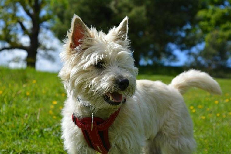 ケアーンテリアの飼い方 世界一の小さな相棒と呼ばれた犬の性格や健康管理について